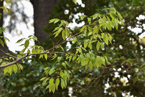 ヨコグラノキ,植物