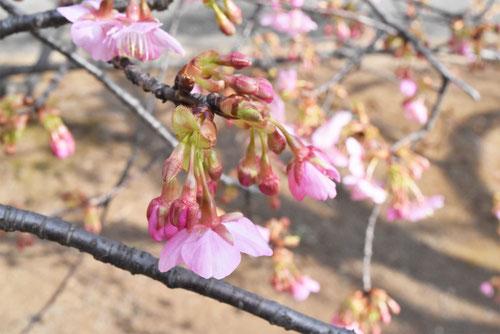 河津桜,特徴