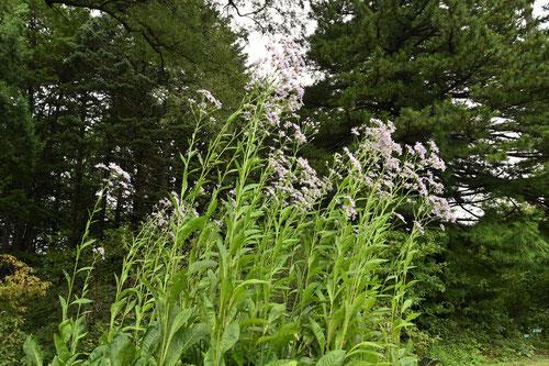 背が高い薄紫の花