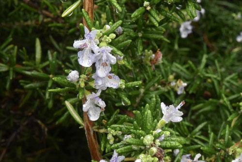 マンネンロウの花