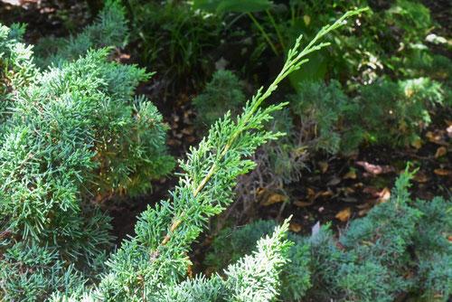 真柏の木,盆栽
