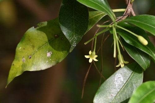 子安の木,開花時期