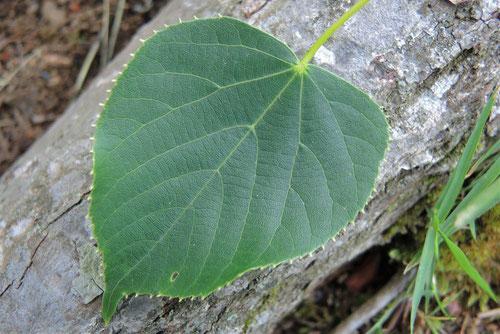 ボダイジュの葉っぱ 画像