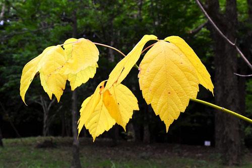 トネリコバノカエデ 黄葉