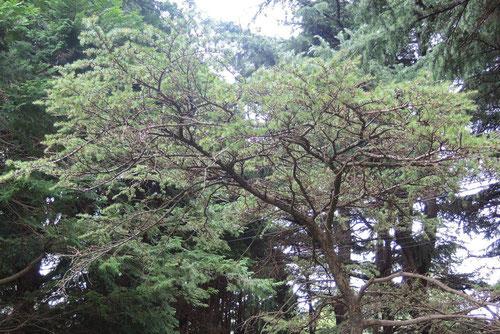 小石川植物園,アトラスシーダー,あとらすしーだー