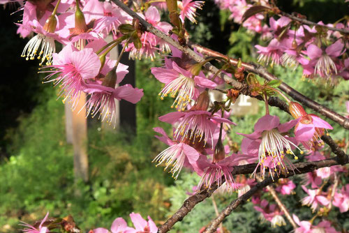 ヒマラヤサクラ,開花時期