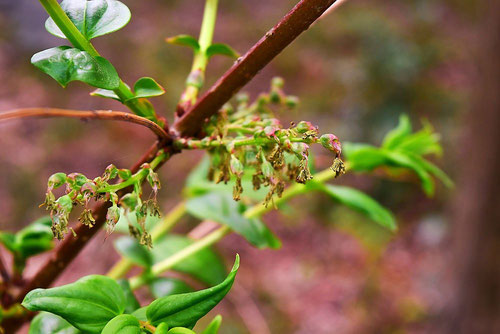 Chinese coriaria,flower
