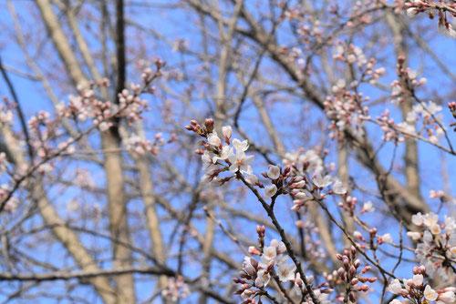 江戸彼岸桜 花