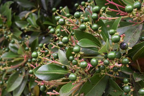 tabu tree,fruits
