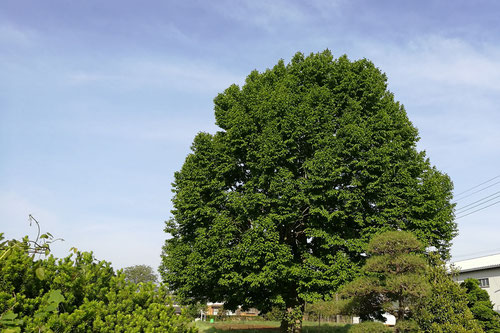 辛夷,庭木,画像