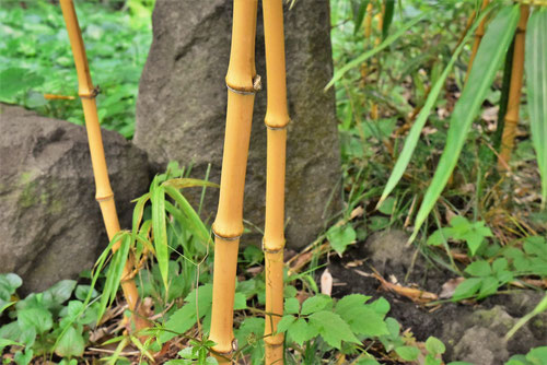 黄色い竹の種類