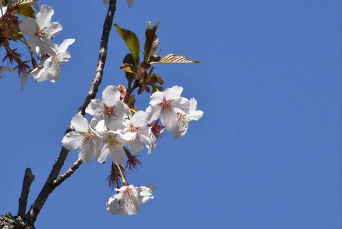 山豆桜,やままめざくら