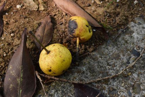 Sand pear,Japan