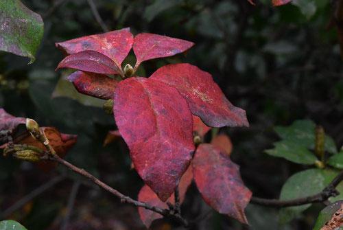ゲンカイツツジ 紅葉 黄葉
