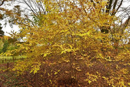 紫式部 黄葉