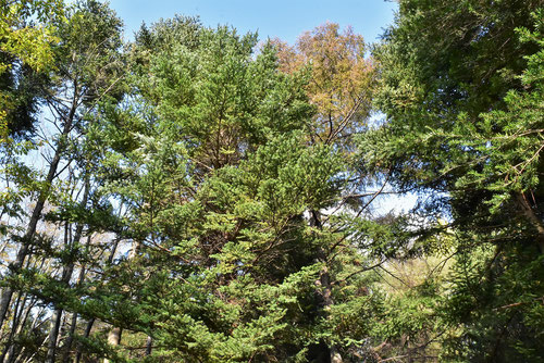 椴松,樹木