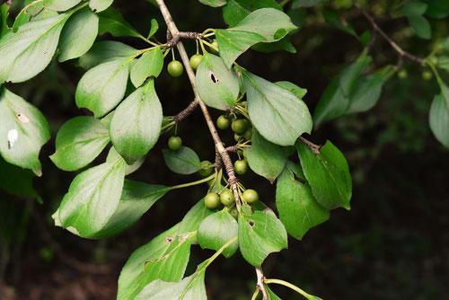 キシキンニ 木