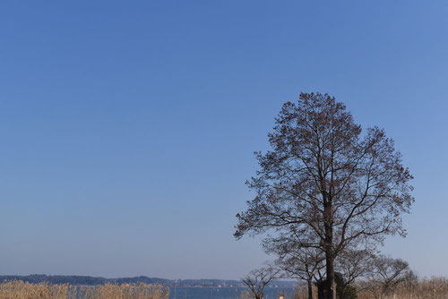 榛の木 樹木