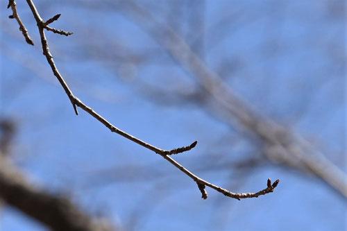 やまざくらの木の特徴