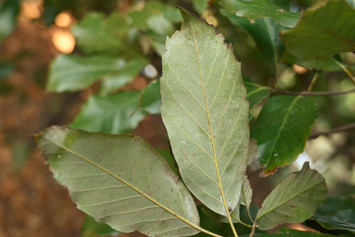 アラカシ,葉っぱ