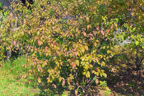 ニワウメ 紅葉 黄葉