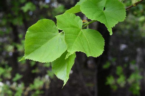 セイヨウシナノキ,葉っぱ,画像