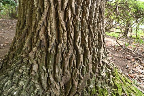 センノキ,樹木