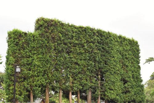 杉の木の垣根