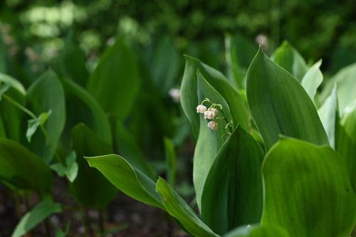 スズランの花,画像