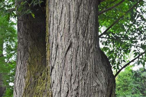 chinaberry tree,trunk
