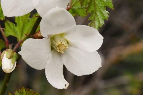 きいちごの花