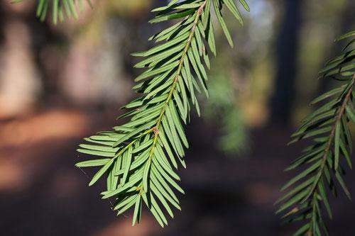 西洋イチイの木,よーろっぱいちい,特徴