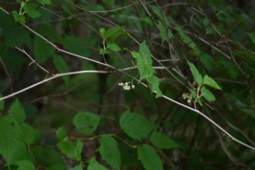 かなうつぎ,木の枝
