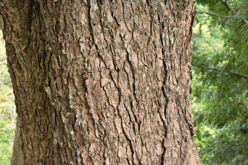 Northern Japanese Hemlock,trunk