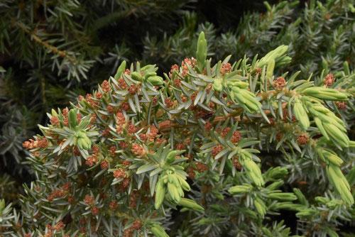 オキナワハイネズの花