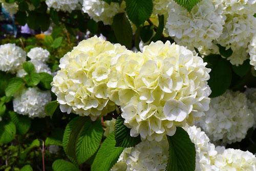 オオデマリの花,画像