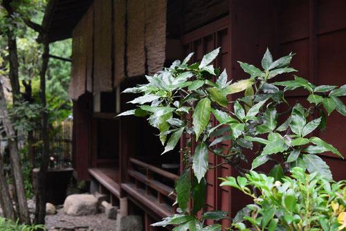 あおきの木,育て方,植物
