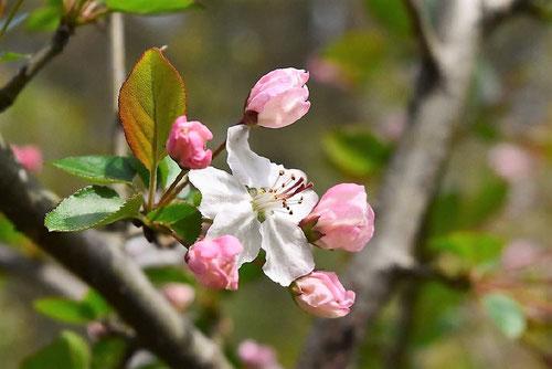 ズミ,花言葉,開花時期