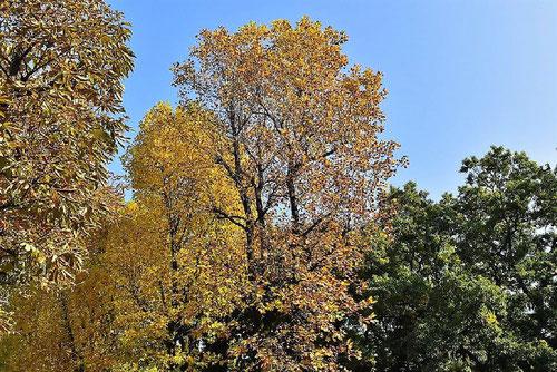 チューリップツリー 紅葉 黄葉
