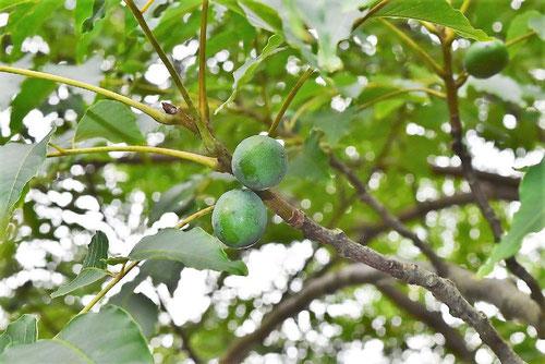 ラプシー,木の実