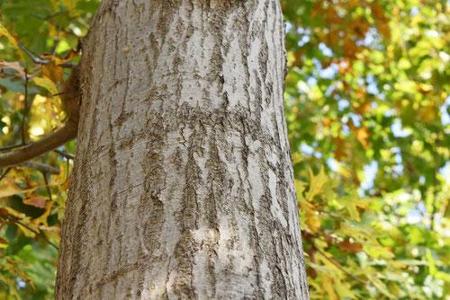 ピンオークの木の幹