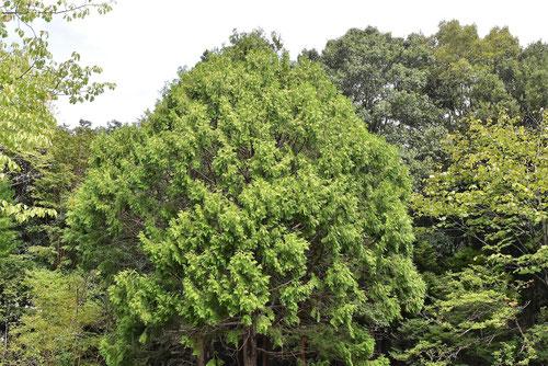 クロベ 樹木 画像
