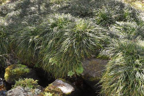 りゅうのひげ,植物