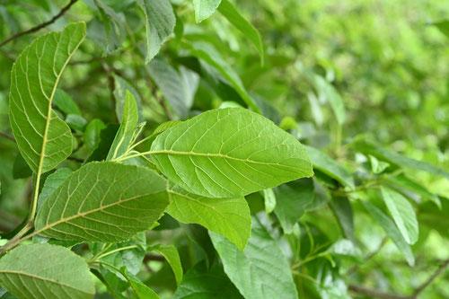 Japanese alder,leaf,picture