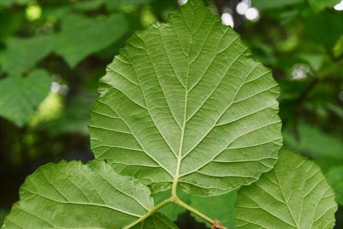 シモフリグミ 葉っぱ 特徴