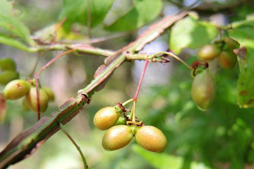 錦木 種子 実 画像