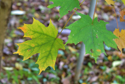 Sugar maple,leaf,picture