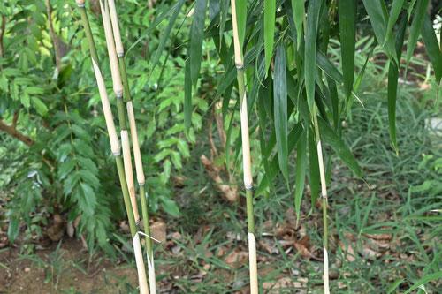 メダケ,シノとは何の竹
