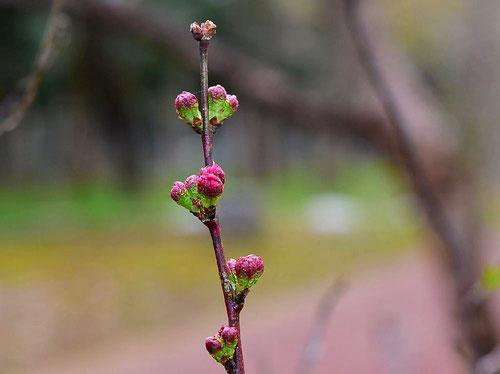 ニワウメ 開花時期
