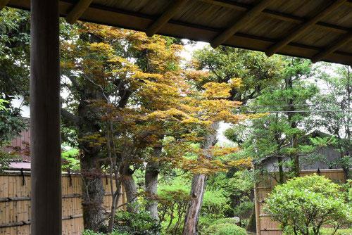 ノムラモモジ 葉の色